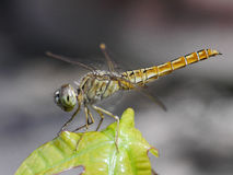 Dragonfly. Close up on the leaf Stock Photography