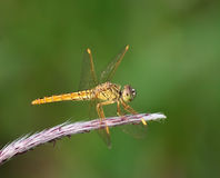 Dragonfly Stock Photos