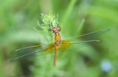 Dragonfly close-up Stock Photos