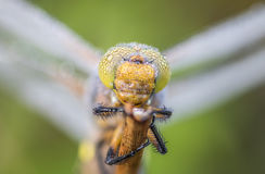 Dragonfly close up macro. Dragonfly close up spotted in nature Stock Image