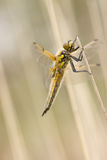 Dragonfly close up macro. Dragonfly close up spotted in nature Royalty Free Stock Photos