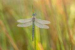 Dragonfly. Close up in the nature stock photography