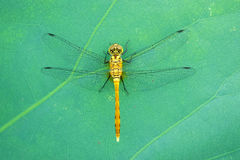 Dragonfly. The close-up oa a female dragonfly on lotus leaf. Scientific name: Pantala flavescens royalty free stock photos