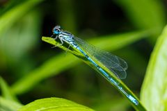 Dragonfly close-up. A close-up photo of a dragonfly sitting on a sheet. Dragonfly blue color in the forest in nature. Flying adder.  Royalty Free Stock Images