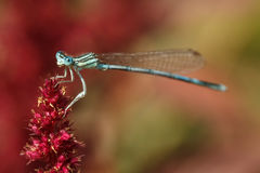 Male white-legged damselfly on a red flower Royalty Free Stock Photos