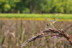 Dragonfly. Close up the dragonfly in the rice field Royalty Free Stock Images