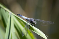 Dragonfly. Close-up sits on the grass Royalty Free Stock Photos