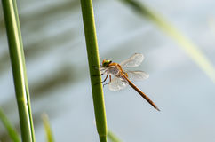 Dragonfly  close up Stock Photos