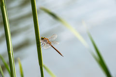 Dragonfly  close up Royalty Free Stock Photo