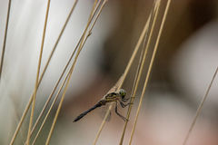 Dragonfly close up. Spotted in nature Stock Images