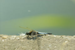 Dragonfly close up. Spotted in nature Royalty Free Stock Photography