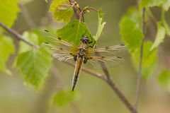 Dragonfly close up. Spotted in nature Stock Photos