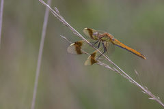 Dragonfly close up. Spotted in nature Royalty Free Stock Photo