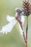 Dragonfly close up. Spotted in nature Royalty Free Stock Images