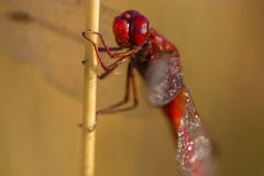 Dragonfly close up. Spotted in nature Stock Photography