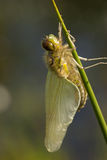 Dragonfly close up. Spotted in nature Stock Photo