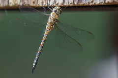 Dragonfly close up. Spotted in nature Stock Image