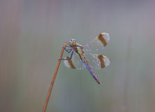 Dragonfly close up. Spotted in nature Royalty Free Stock Photos