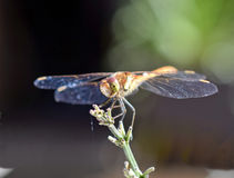Dragonfly. Close up of a dragonfly on a stem Royalty Free Stock Photo