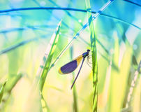 Dragonfly close-up on the stems of grass. Dragonfly with blue wings close-up on the stems of grass by the river. Natural beautiful summer, spring background Stock Image