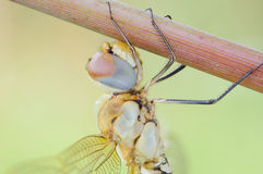 Dragonfly taking a break. Macro view of a dragonfly holding on to a plant stem Stock Photos