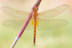 A dragonfly close-up. A dragonfly taking a break,a close-up from back Stock Photo
