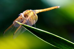 Dragonfly. Close-up View of Dragonfly on Leaf Royalty Free Stock Photo