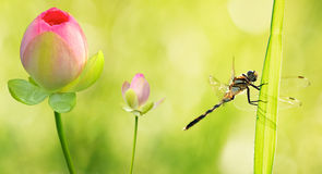 Dragonfly close up with water lily flowers Stock Photos