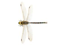 Dragonfly closeup Royalty Free Stock Photo