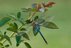 Dragonfly closeup Royalty Free Stock Photography
