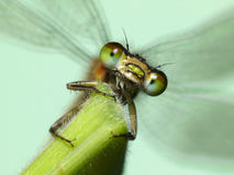 Dragonfly closeup Royalty Free Stock Images