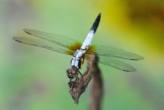 Dragonfly. Closeup of a beautiful  dragonfly Stock Photography