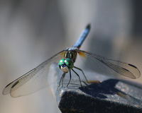 Dragonfly closeup of blue dasher. Blue dasher dragonfly facing forward closeup showing green eyes distinctive of male Stock Photography
