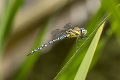 Dragonfly Close Up - Aeshna viridis royalty free stock photos