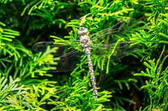 Dragonfly closeup in Garden. Dragonflies, an amazing and unique insect is from the order Odonata and the Anisoptera suborder. The attractive characteristic of stock photo