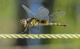 Dragonfly-closeup. Dragonfly having sunbath on a sunny-day - a closeup Royalty Free Stock Photography