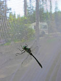 DragonFly. A closeup image of a green and yellow dragonfly on a tent`s screen window. They are symbols of courage, strength and happiness in Japan, but seen as royalty free stock images