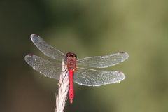 Dragonfly closeup Stock Images
