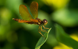 Dragonfly Closeup Stock Photography