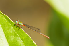 Dragonfly. Closeup of a dragonfly resting on a leaf Royalty Free Stock Photos