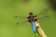 Dragonfly. Closeup resting transparent wings Stock Images