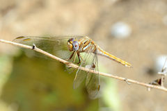 Dragonfly. Closeup of dragonfly resting on a twig Royalty Free Stock Image