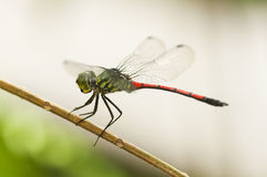 Dragonfly. Closeup of a dragonfly resting on a twig Stock Image