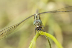 Dragonfly. Closeup shot of a dragonfly with a prey Stock Photography