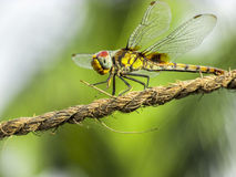 Dragonfly-closeup. Dragonfly closeup sitting on a coir rope on a sunny day Stock Photo