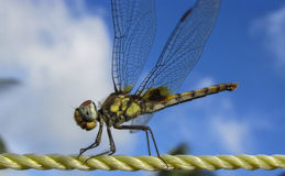 Dragonfly-closeup. Dragonfly closeup on sunny day Royalty Free Stock Photo