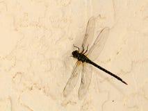 Dragonfly Royalty Free Stock Photo