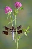 Dragonfly on clover Stock Photos