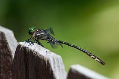 Dragonfly Clubtail стрелки Стоковая Фотография