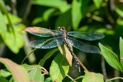 Dragonfly Clubtail стрелки Стоковое Фото